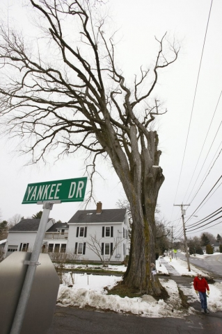 "In this Dec. 15, 2009 file photo, a pedestrian walks past a large elm tree known as ""Herbie"" in Yarmouth, Maine. The tree, estimated to be 217 years old, was cut down Jan. 19, 2010 after suffering numerous bouts of Dutch elm disease. ""Herbie"" may be gone, but he'll live on in cloned trees that are now being made available to the public."