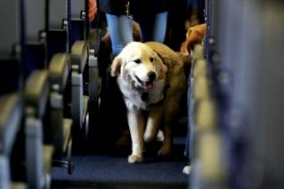 In this April 1, 2017 file photo, a service dog strolls through the isle inside a United Airlines plane at Newark Liberty International Airport while taking part in a training exercise, in Newark, N.J. Delta Air Lines says for safety reasons it will require owners of service and support animals to provide more information before their animal can fly in the passenger cabin, including an assurance that it's trained to behave itself.