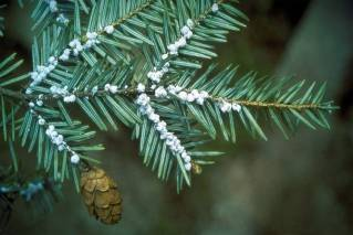 Maine Forest Service: Invasive forest insect spreads