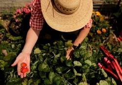 UMaine Extension offers tips for donating extra garden produce