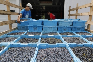 Trade retaliation program unlikely to help Maine blueberries