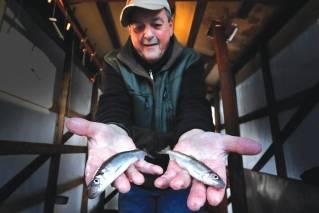 In this Friday, Feb. 2, 2018, photo, ice fisherman Roger Dupuis of Waltham, Mass., shows off a pair of rainbow smelt he caught at Jim Worthing's Smelt Camps on the Kennebec River in Randolph, Maine. The state's smelt population is continuing to rebuild, which is good news for fishermen who squat in frigid shacks to catch the little fish through the ice.