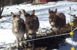 Mini donkeys find loving home in Hermon