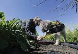 Truffle dogs sniff out prized fungus