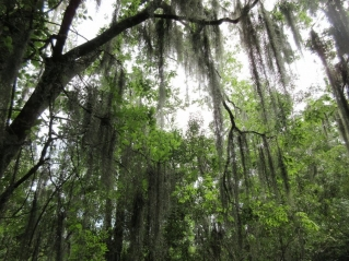 Frog symphony and ancient trees in a verdant Louisiana swamp