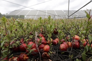 In this Wednesday, Oct. 2, 2019, photo, cranberries grow in a cranberry bog near solar arrays, behind, in Carvar, Mass. The cranberries, perennials that return year-to-year, were not intended for this years harvest, but sprung up near the solar arrays. The revenue that solar power offers has been helpful to farmers as the price of cranberries has dipped in recent years.