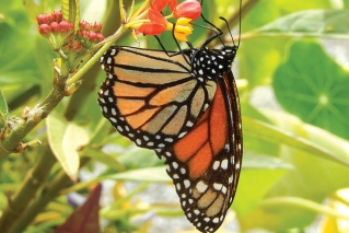 App allows citizen scientists to contribute to monarch butterfly research